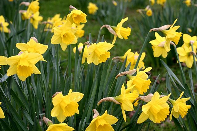 "13th March 2013  - ""Daffs"""