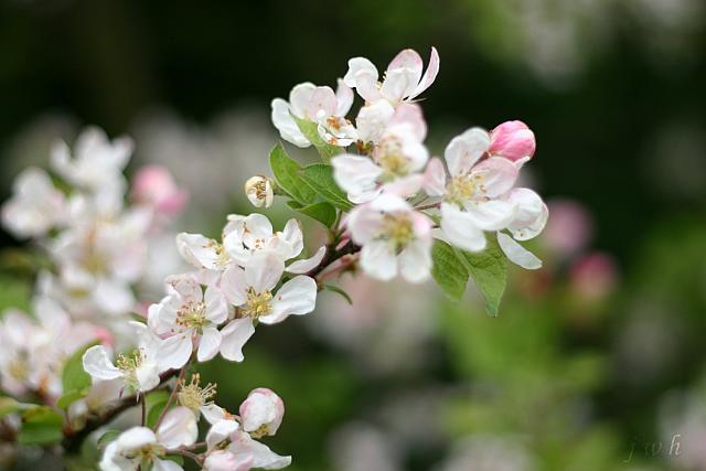 "4th May 2012 - ""Crab Apple"""