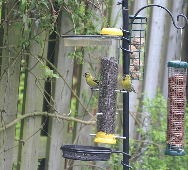 "27th May 2013 - ""Goldfinches"""