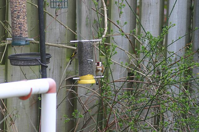 "6th April 2014 - ""Goldfinch"""