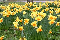 "23rd March 2012 - ""More Daffs"""