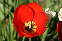 "30th March 2012 - ""Tulip"""