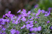 "31st March 2012 - ""Aubretia"""