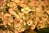 "15th October 2012 - ""Hydrangea"""