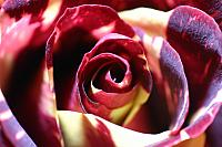 "28th October 2013 - ""Two Tone Rose"""