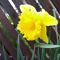 """9th May 2021 - """"D. Daffodil"""""""